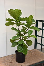 Fiddle Leaf Fig (Ficus lyrata) at Dammann's Garden Company