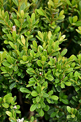 Baby Jade™ Boxwood (Buxus microphylla 'Grejade') at Dammann's Garden Company