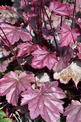 Stainless Steel Coral Bells (Heuchera 'Stainless Steel') at Dammann's Garden Company